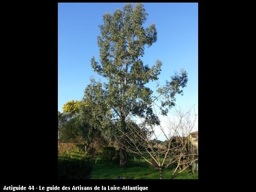 Coupe d'un eucalyptus réalisé par l'entreprise Brière Environnement basé à LA CHAPELLE DES MARAIS